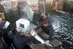 سونوگرافی ماهی خاویاری