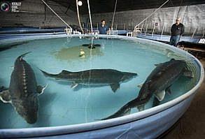 دستگاه سونوگرافی مناسب ماهی خاویاری